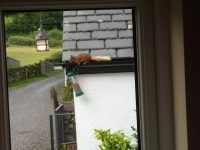 Red squirrel visitors at Nest Barn