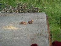 Red squirrels at Nest Barn